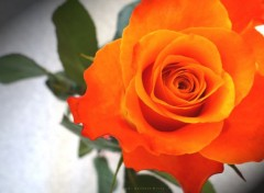 Nature rose orange