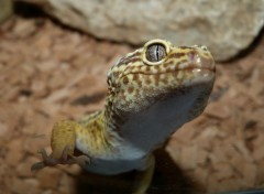  Animaux Gecko 