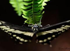 Animals Papillons d'Hunawhir